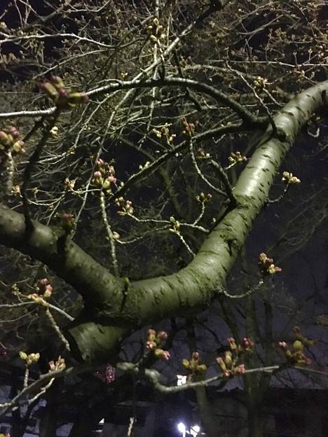 落合公園:蕾は膨らんでたけど、まだ咲いてなかった桜(2017年3月30日) - 3
