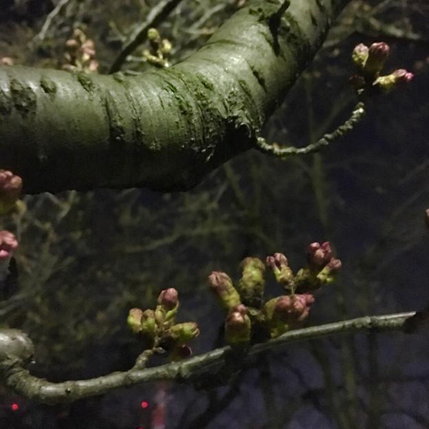 落合公園:蕾は膨らんでたけど、まだ咲いてなかった桜(2017年3月30日) - 4