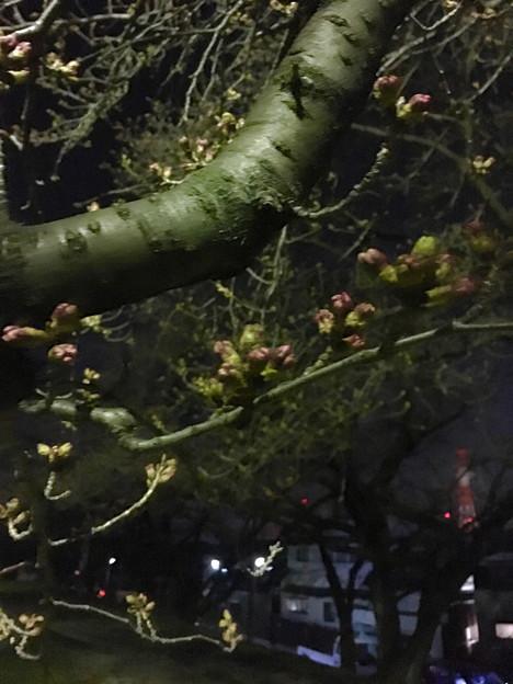 落合公園:蕾は膨らんでたけど、まだ咲いてなかった桜(2017年3月30日) - 6