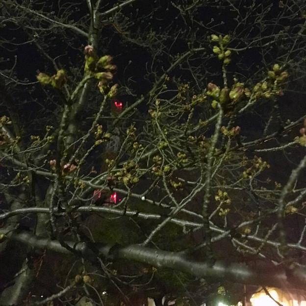 落合公園:蕾は膨らんでたけど、まだ咲いてなかった桜(2017年3月30日) - 10