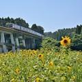 Photos: サンフラワーと電車