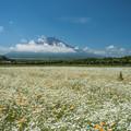 富士とかすみ草
