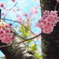 日陰にも咲いて満開