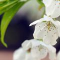 エドヒガン桜