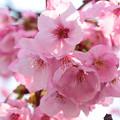 ヨウコウ桜