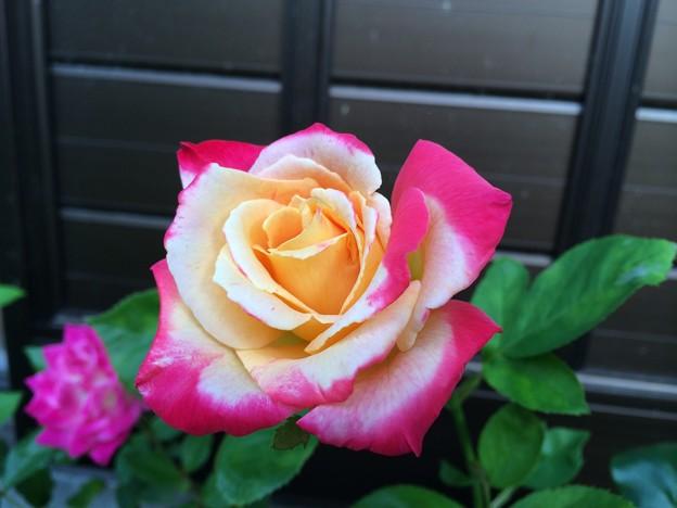 栄光 二番花