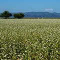 白鳥浜の蕎麦畑
