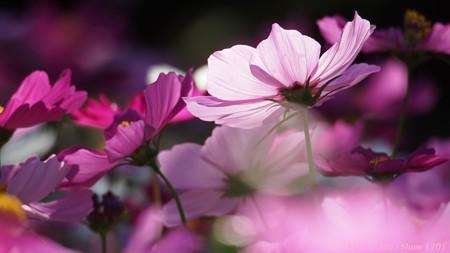光のパレット コスモス 宇治植物公園 夢の色 03
