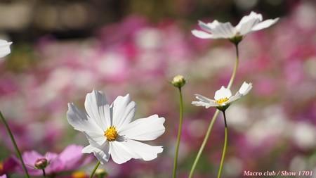 光のパレット コスモス 宇治植物公園 夢の色 10