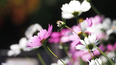 光のパレット コスモス 宇治植物公園 夢の色 11