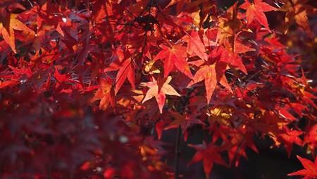 光のパレット 三室戸寺の紅葉 061 赤い明星