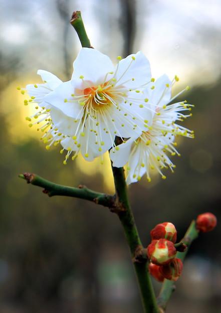 梅の花がひらく