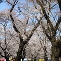 写真: 4/4、大宮公園の桜