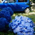 青いクルマと青いあじさい