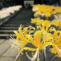 写真: autumn yellow