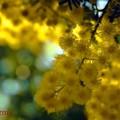 写真: Mimosa.......