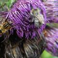 Photos: 虫の集まるアザミ609s