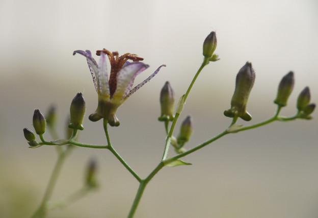 Photos: 咲き始めました112cs