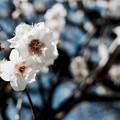 写真: 近所の梅
