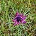 Saussurea stella