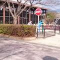 写真: 本町公園さくらは先がピンクに