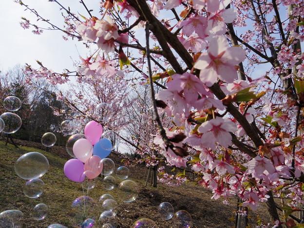 シュゼンジカンザクラ春の風