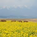 写真: 比良の春