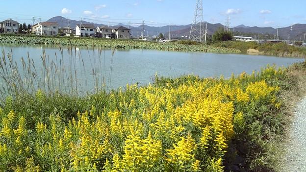 池の周りのセイタカアワダチソウ