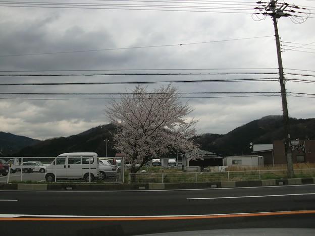 一本だけある桜