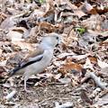 地味目な冬鳥-3