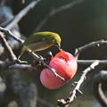 写真: 柿とメジロ(2)FK3A1980