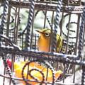 Photos: メジロ(4)ヒヨドリ避けの籠の中で FK3A6861