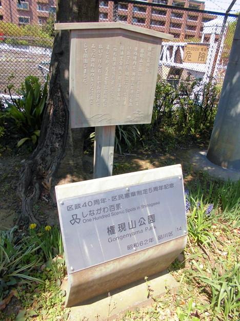 権現山の桜-01a