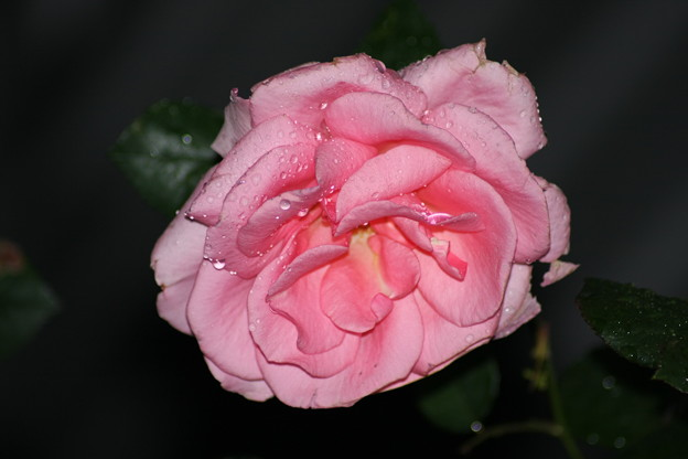 雨中の薔薇