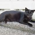 _161018 068 黒ヒョウのような黒猫