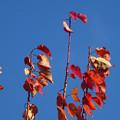 あんずの紅葉