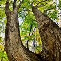 ブナの木~黄葉