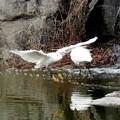 コサギの飛翔ー3