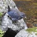 カワガラス幼鳥ー1