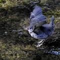 カワガラス幼鳥ー3