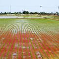 写真: 赤く染まる田んぼ