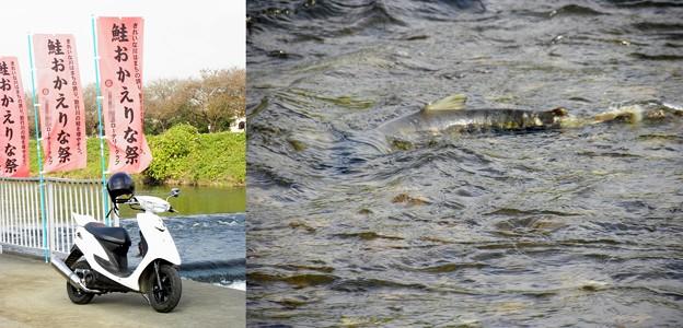 Photos: 鮭おかえりな祭