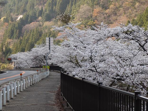 P4160272 中山七里の桜その5