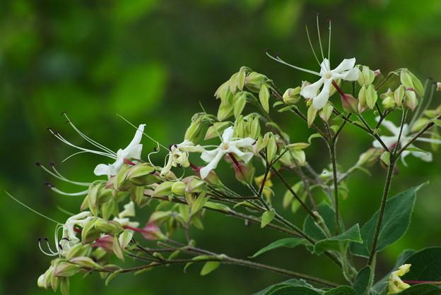 臭木の花咲く