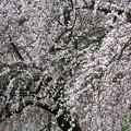 写真: 枝垂れ梅11
