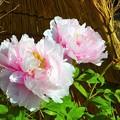写真: 牡丹~徳川庭園