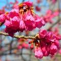 写真: 寒緋桜~逗子