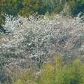 山桜~葉山南郷公園