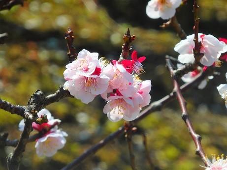 Photos: 梅~徳川庭園