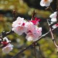 梅~徳川庭園